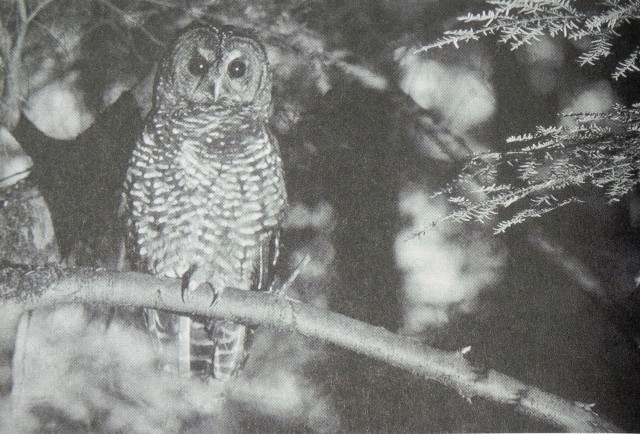 Northern_Spotted_Owl_1990