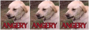 Angry dogs meme